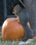 squirrel on pumpkin-small