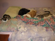 4 cats on the bed 1-30-12