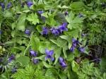 shrinking-violet
