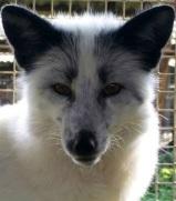 silver_fox2