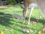 deer with cat1