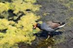 duckweed and moorhen