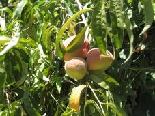 home grown peaches-ex