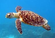 turtle in the sea-hawksbill turtle