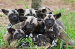 painted_dog-puppies