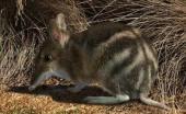 bandicoot from Australia