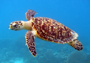 turtle in the sea-hawksbill turtle