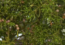 phoradendron flavescens- mistletoe