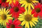 coneflower-multicolored