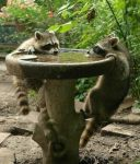 raccoons drinking at a fountain