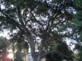 oak tree-ex
