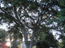 oak tree-ex