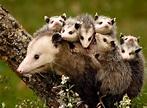 opossum-mom-with-babies